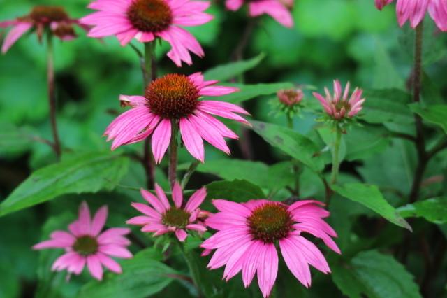 やる気を出しておくれよ~、おたふく紫陽花!_e0397815_01052896.jpg