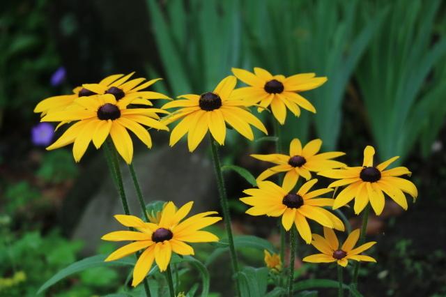 やる気を出しておくれよ~、おたふく紫陽花!_e0397815_01075316.jpg