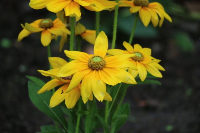 やる気を出しておくれよ~、おたふく紫陽花!_e0397815_01075952.jpg