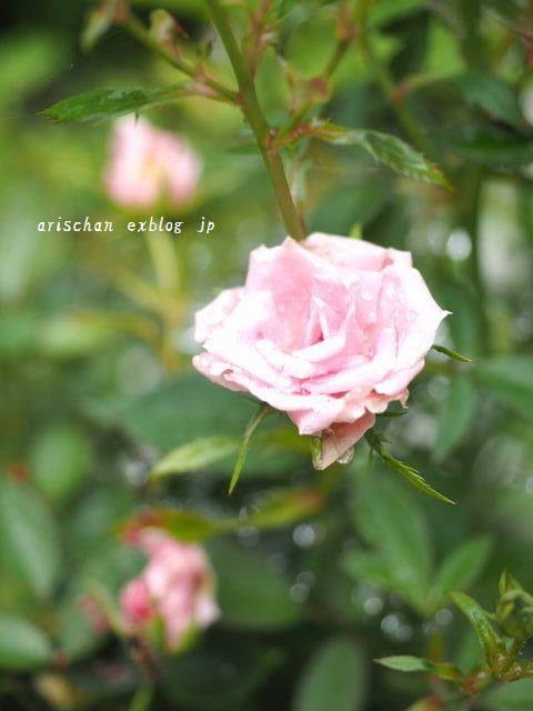 我が家の7月のお庭の花と野菜~♫_e0406439_08110926.jpg