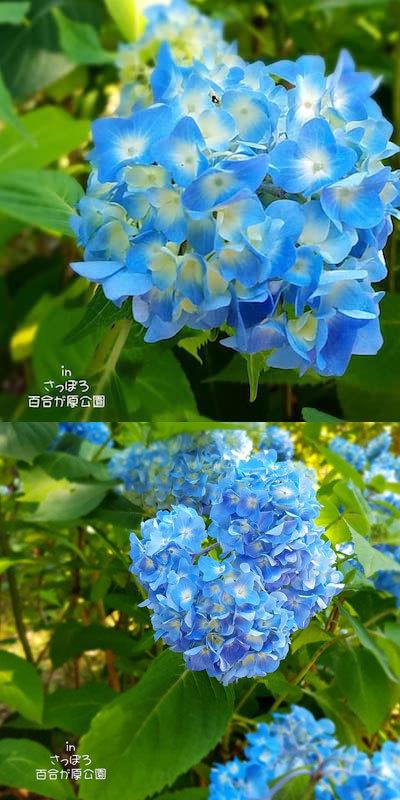 私のお気に入りの紫陽花が咲きました!<さっぽろ百合が原公園の開花情報>_a0293265_13025375.jpg
