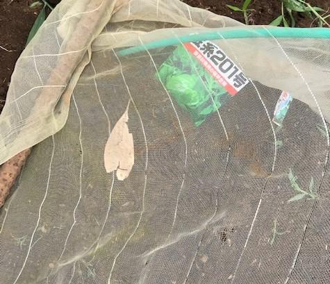 冬キャベツとブロッコリー種まき7・3_c0014967_06400929.jpg