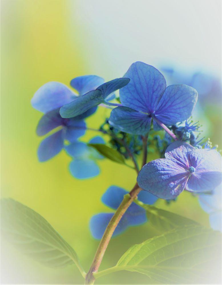 紫陽花:模様**_c0357781_20052621.jpg