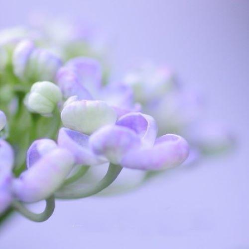 紫陽花:模様**_c0357781_20081525.jpg