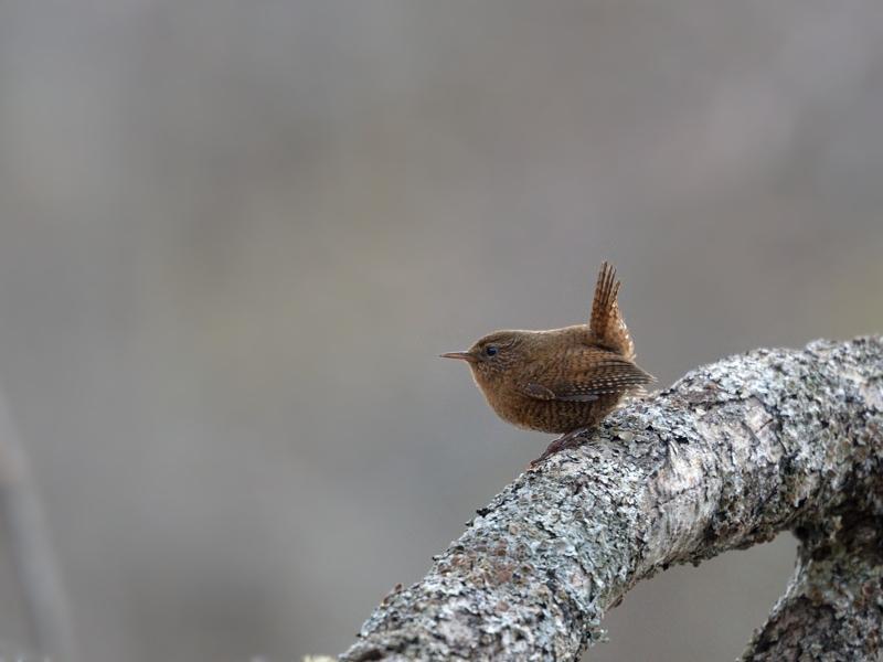 お山の鳥さんたち(ミソサザイ/アカハラ/ゴジュウカラ)_a0204089_5504252.jpg