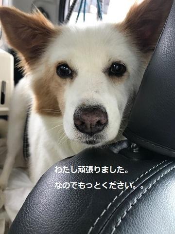 【犬・移動先募集】ちょこちゃん検査に行ってきました_f0242002_18354026.jpg