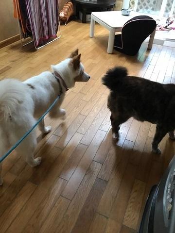 【犬・移動先募集】ちょこちゃん検査に行ってきました_f0242002_18390449.jpg