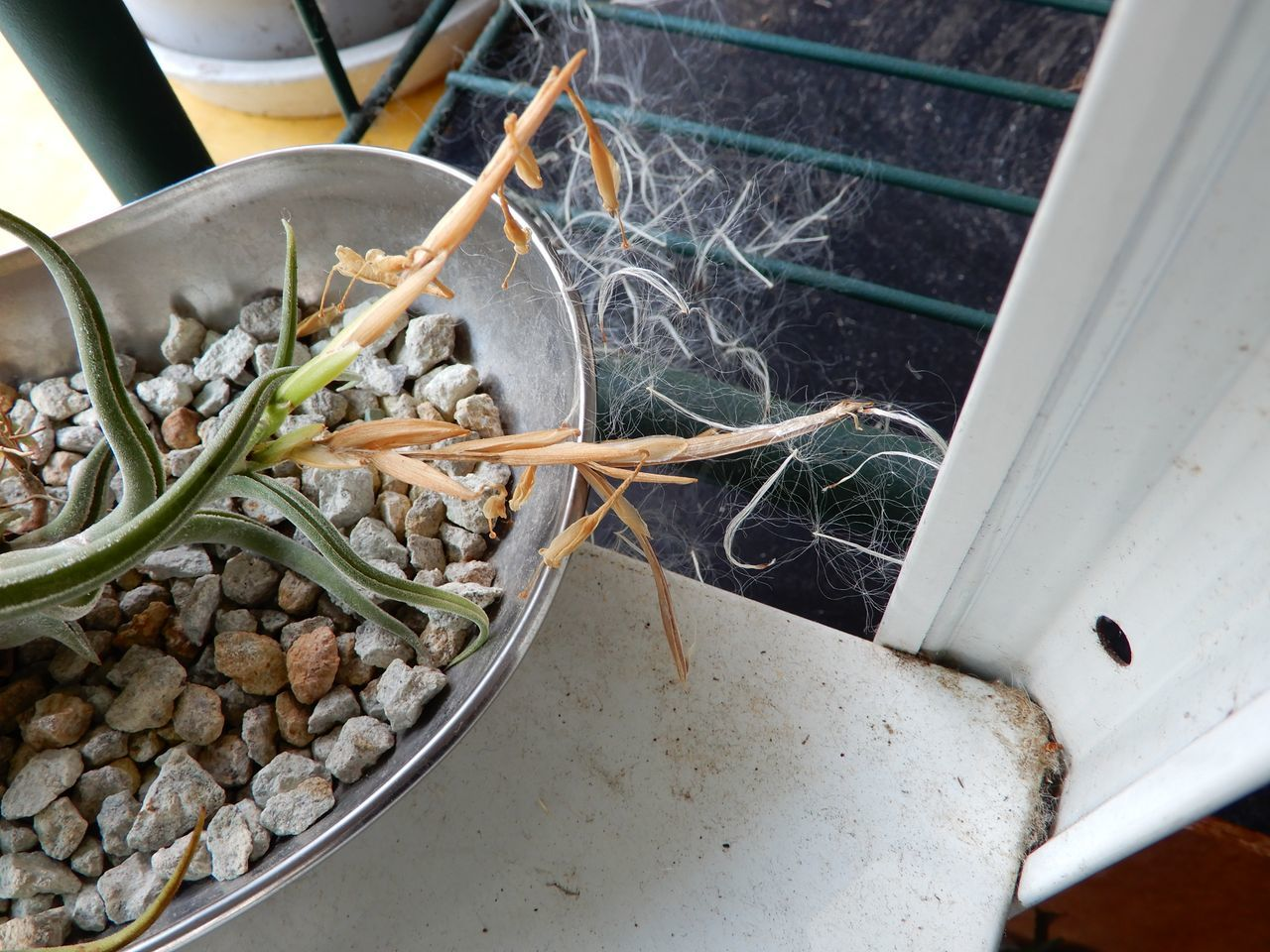 エアプランツの種子が熟した!?_c0025115_22392750.jpg