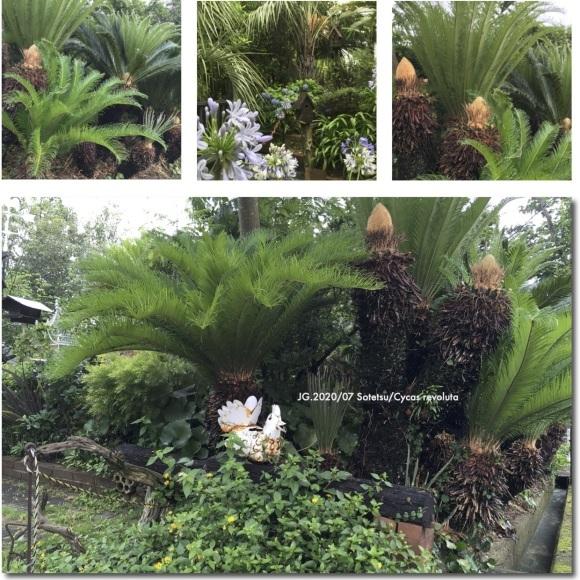 ソテツ・7月の庭風景_b0065438_15340286.jpg
