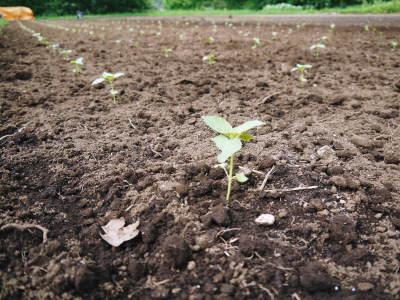 無農薬栽培の白エゴマ油『ピュアホワイト』令和2年度の白エゴマの定植は雨との戦いです!_a0254656_17012668.jpg