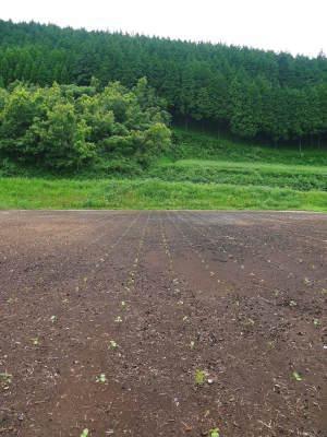無農薬栽培の白エゴマ油『ピュアホワイト』令和2年度の白エゴマの定植は雨との戦いです!_a0254656_17382331.jpg