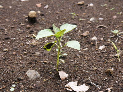無農薬栽培の白エゴマ油『ピュアホワイト』令和2年度の白エゴマの定植は雨との戦いです!_a0254656_17443397.jpg