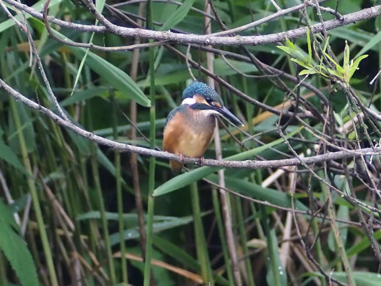 カワセミ幼鳥_c0360399_16442760.jpg