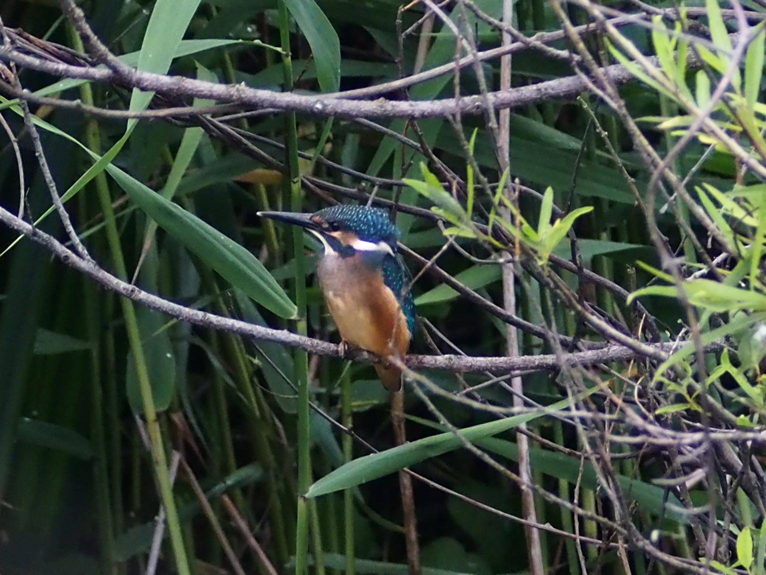 カワセミ幼鳥_c0360399_16454893.jpg