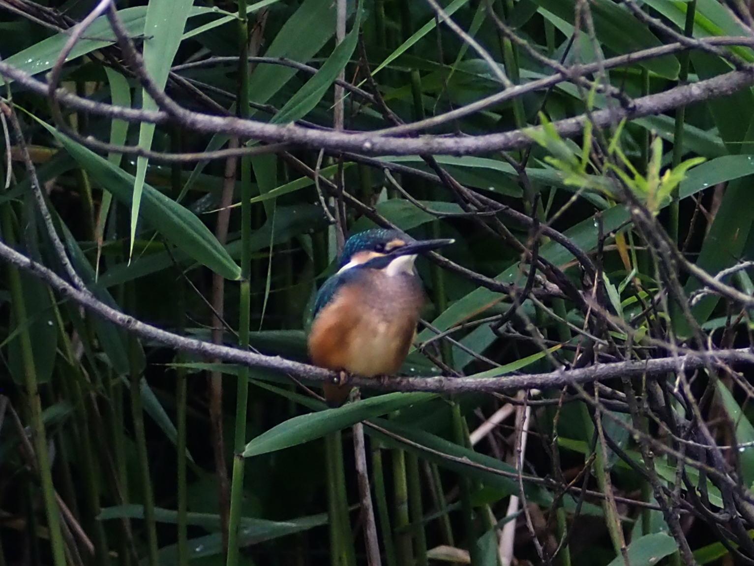 カワセミ幼鳥_c0360399_16462781.jpg