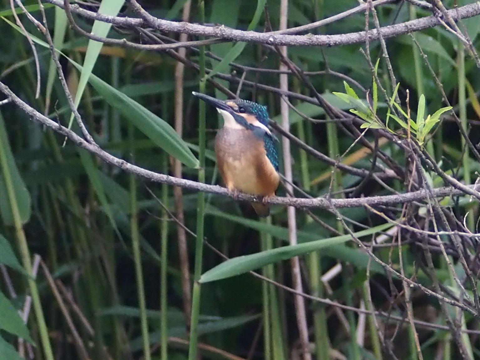 カワセミ幼鳥_c0360399_16491738.jpg