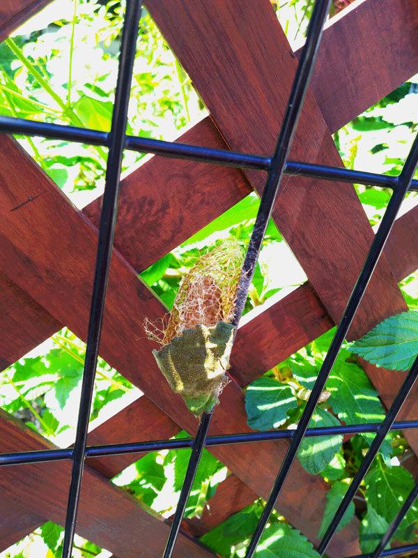 篭のようなものの中に蛹のような物が…_b0025008_18285451.jpg