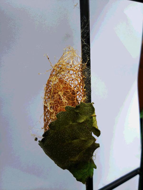 篭のようなものの中に蛹のような物が…_b0025008_18291493.jpg