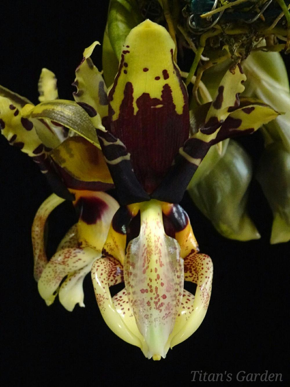 Stanhopea tigrina var. nigroviolacea \'Predator\'_b0099813_12245418.jpg