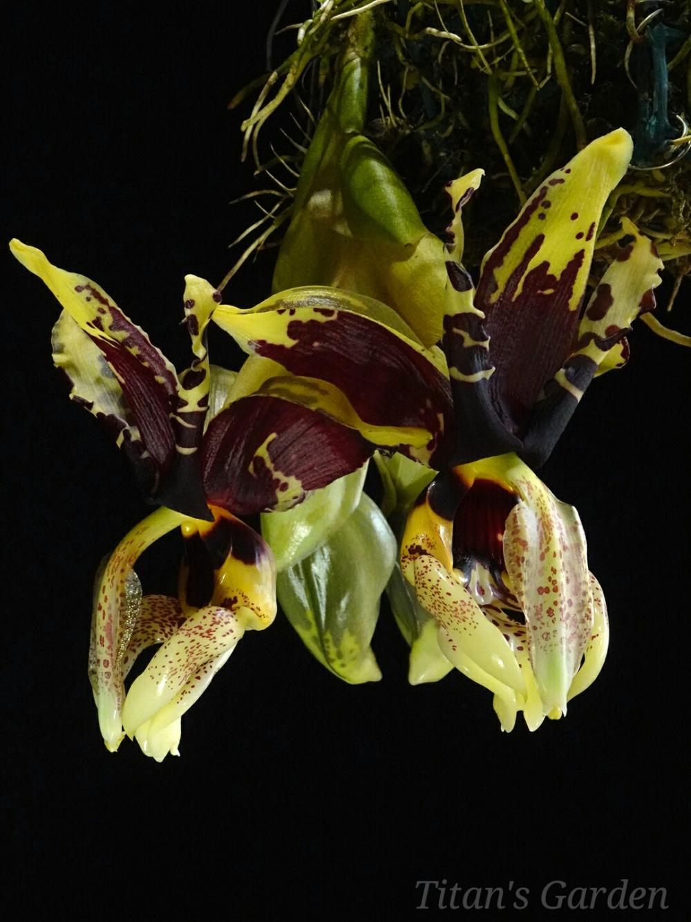 Stanhopea tigrina var. nigroviolacea \'Predator\'_b0099813_12245425.jpg