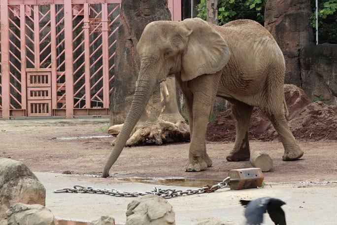 帰ってきたアフリカゾウ「アコ」と「砥夢」のおやつTIME(多摩動物公園)_b0355317_22380230.jpg