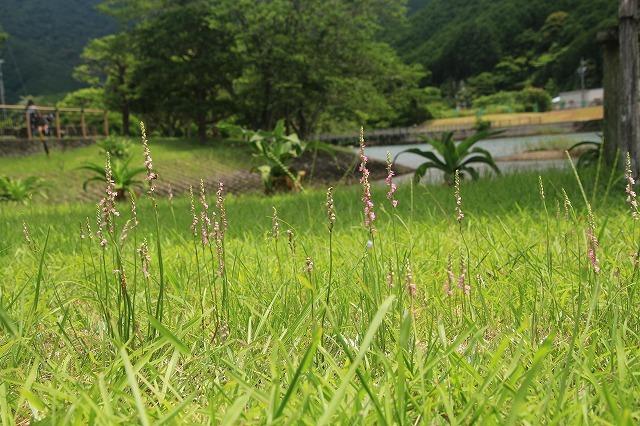 ネジバナ開花(撮影:6月25日)_e0321325_18460422.jpg