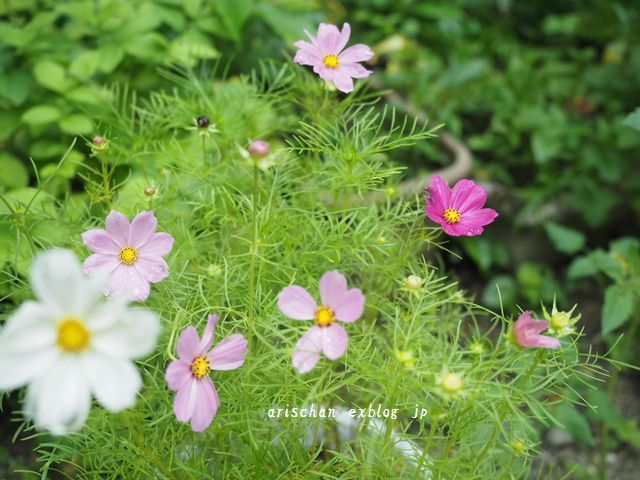 超早咲きコスモスの続きと夏限定の春巻き~♡_e0406439_13201767.jpg