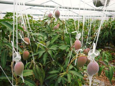 樹上完熟アップルマンゴー お待たせしました!樹上完熟マンゴーのご注文順の発送をスタートしました!_a0254656_17124140.jpg