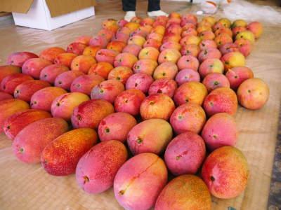 樹上完熟アップルマンゴー お待たせしました!樹上完熟マンゴーのご注文順の発送をスタートしました!_a0254656_17282779.jpg