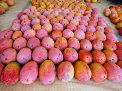 樹上完熟アップルマンゴー お待たせしました!樹上完熟マンゴーのご注文順の発送をスタートしました!_a0254656_17324179.jpg