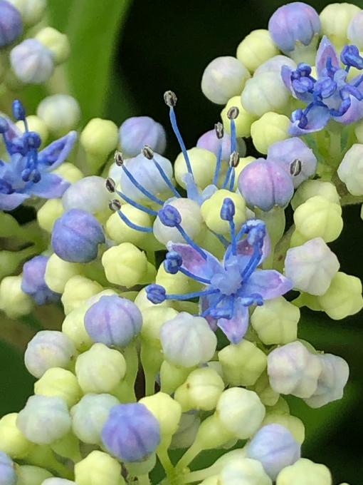 紫陽花が見頃です_b0093660_13555764.jpg