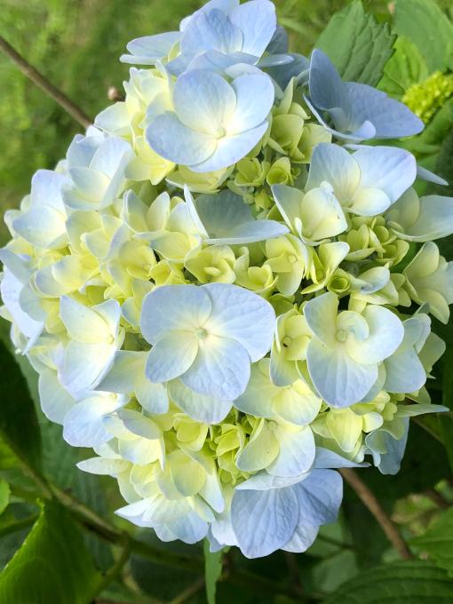 紫陽花が見頃です_b0093660_13555873.jpg