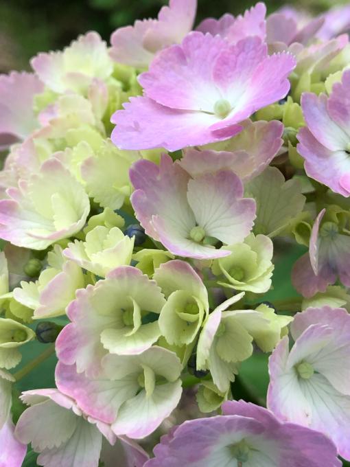紫陽花が見頃です_b0093660_13555979.jpg