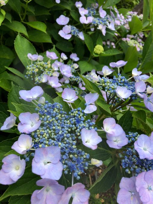 紫陽花が見頃です_b0093660_14201845.jpg