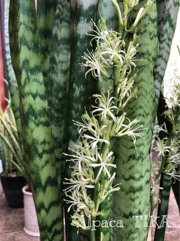 お花柄ふんわりブラウス・細かいストライプ麻パンツ サンセベリアのお花が今年も咲きました!_d0187468_16103088.jpg