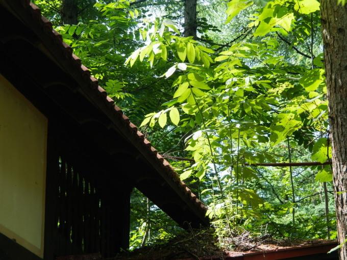 """ど根性""""オニグルミ""""・・屋根の上で成長しています。_f0276498_10185833.jpg"""