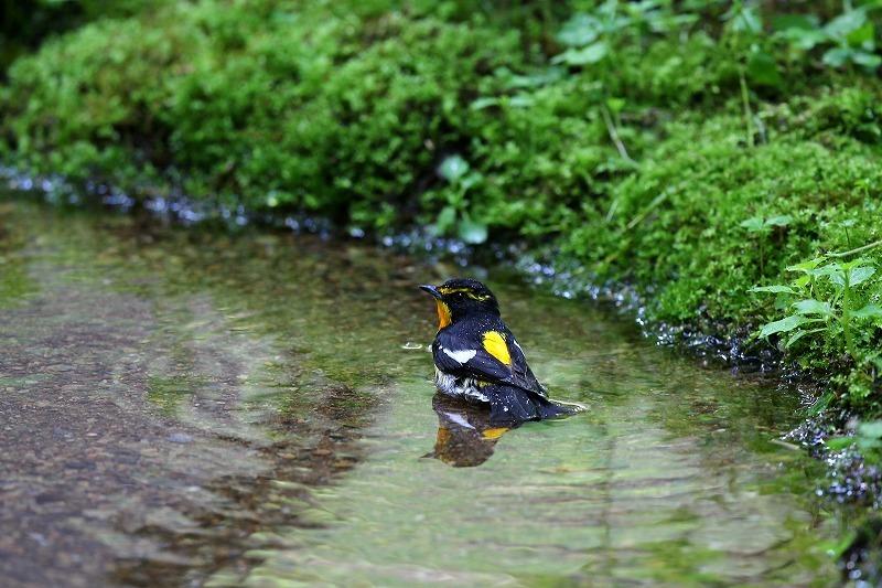 キビタキの水浴び。_a0206701_00133219.jpg