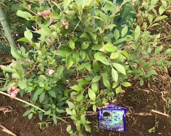 六国見山のブルーベリーに専用肥料を追肥7・11_c0014967_21360590.jpg