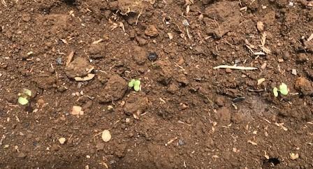 六国見山のブルーベリーに専用肥料を追肥7・11_c0014967_21405459.jpg