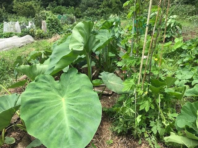 六国見山のブルーベリーに専用肥料を追肥7・11_c0014967_21423824.jpg