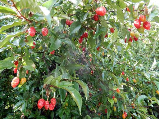 木の実とジャム作り_d0366590_19261392.jpg
