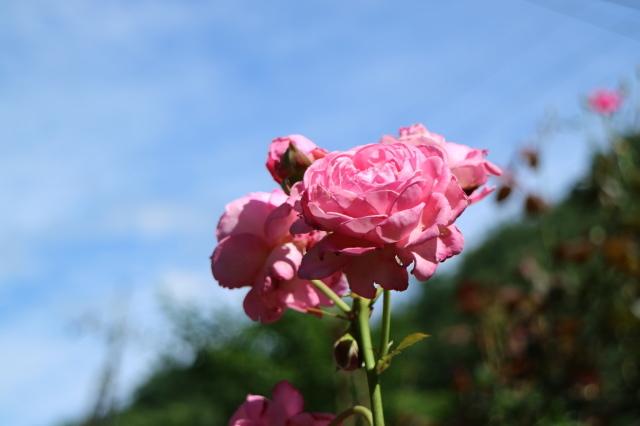 独・コルデス社のバラは強健?_e0397815_15530201.jpg