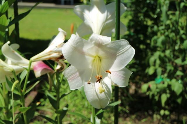 独・コルデス社のバラは強健?_e0397815_16160227.jpg