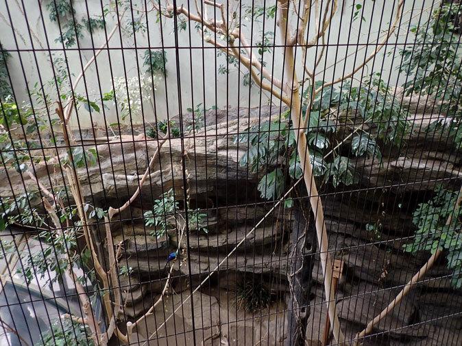 上野動物園バードハウス大図鑑⑩~2F:アオノドナキシャクケイと鳴きまくるカンムリエボシドリ_b0355317_21223249.jpg