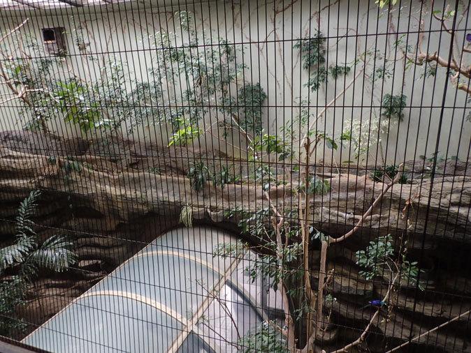 上野動物園バードハウス大図鑑⑩~2F:アオノドナキシャクケイと鳴きまくるカンムリエボシドリ_b0355317_21234560.jpg