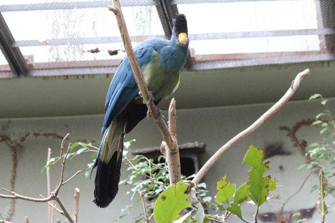 上野動物園バードハウス大図鑑⑩~2F:アオノドナキシャクケイと鳴きまくるカンムリエボシドリ_b0355317_21333917.jpg