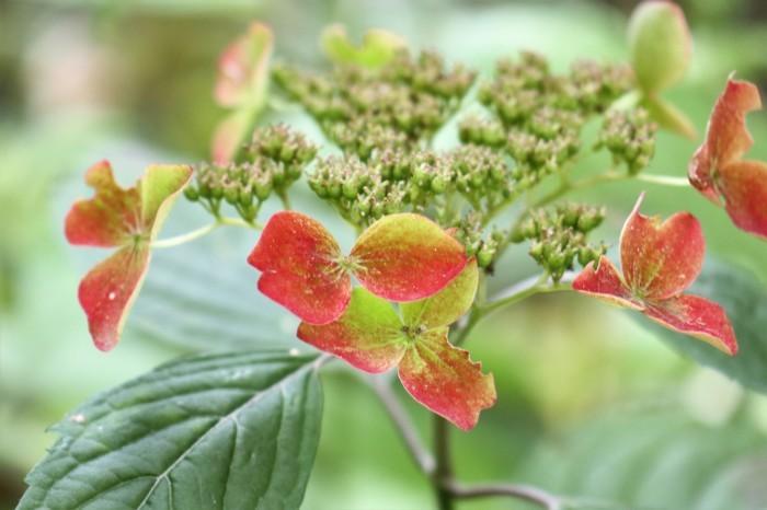 梅雨空に咲く花 桔梗_d0150720_09294783.jpg