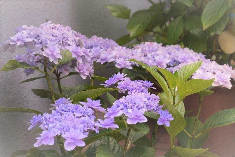 紫陽花_d0162994_08092288.jpg