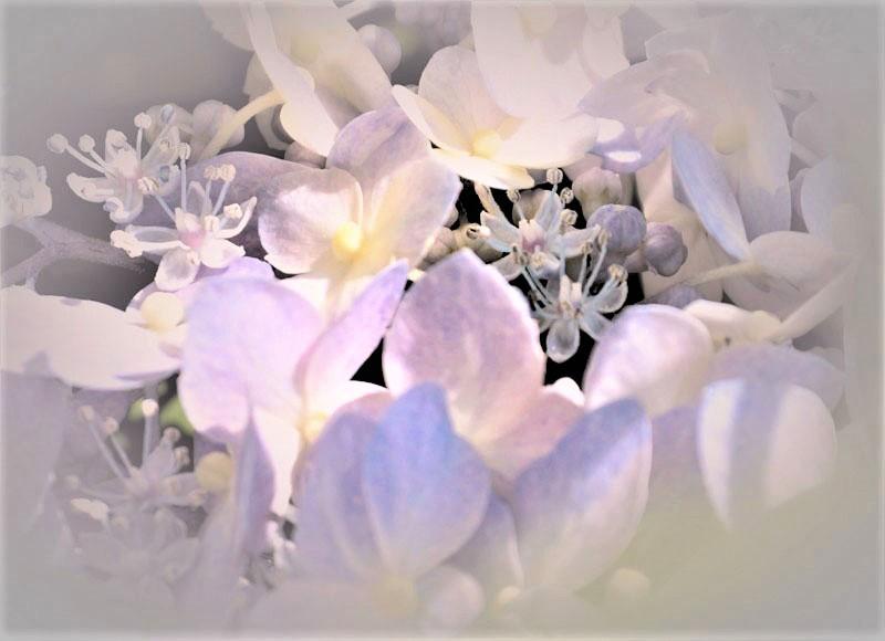 紫陽花_d0162994_08102808.jpg