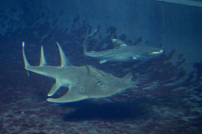 イタチザメとシノノメサカタザメ(葛西臨海水族園)_b0355317_20443548.jpg